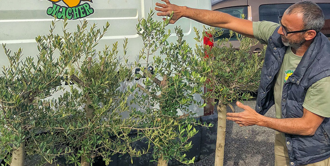 Benefit from our 20% special discount on all olive trees until June 30, 2018. In our garden centre you will find healthy olive trees of all sizes.   Our team and landscape gardeners will also be happy to help you with the professional transplantation and if you do not have transport facilities, we can also organise the transportation for you.  Come by our garden centre and let our gardeners advise you.  Translated with www.DeepL.com/Translator